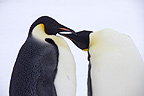 Emperor penguin couple, October, Snow Hill Island, Weddell Sea, Antarctica.