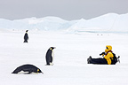 Emperor penguins and tourist observing each other, October, Snow Hill Island, Weddell Sea, Antarctica.