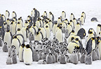 Emperor penguin colony in a snow storm, October, Snow Hill Island, Weddell Sea, Antarctica.