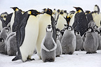 Emperor penguin colony with chicks, October, Snow Hill Island, Weddell Sea, Antarctica.