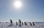 Emperor penguins and chicks, October, Snow Hill Island, Weddell Sea, Antarctica.