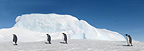 Emperor penguins walking on sea ice, October, Snow Hill Island, Weddell Sea, Antarctica.