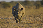 Black Rhinoceros, Etosha National Park, Namibia.