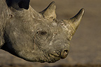 Black Rhinoceros Portrait, Etosha National Park, Namibia.