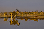 Eland bull at waterhole, Etosha National Park, Namibia.