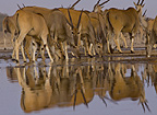 Eland herd reflected at waterhole, Etosha National Park, Namibia.