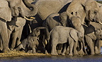 African elephant herd at waterhole, Etosha National Park, Namibia.