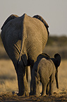 African elephant mother and calf from behind, Etosha National Park, Namibia.