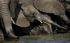 African elephants drinking, Etosha National Park, Namibia.