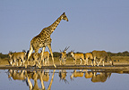 Giraffe and Eland at waterhole, Etosha National Park, Namibia.