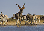 Kudu and Burchell's zebra at waterhole, Etosha National Park, Namibia.