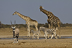 Giraffe, Gemsbok and Burchell's zebra at waterhole, Etosha National Park, Namibia.