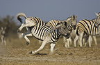 Burchell's zebra kicking, Etosha National Park, Namibia.