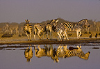 Zebras reflected at waterhole, Etosha National Park, Namibia.