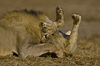 Two African lions playing, Etosha National Park, Namibia