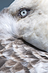 Southern Giant Petrel resting with bill tucked under its wing, Stromness, South Georgia, South Atlantic.
