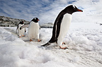 Gentoo Penguins, Peterman Island, Antarctic Peninsula, Antarctica.