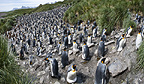 King Penguin breeding colony, Salisbury Plain, South Georgia, South Atlantic.