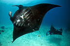 Manta ray, Raja Ampat, Indonesia