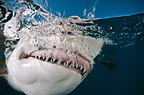 Lemon Shark snapping at the surface of the water, Bahamas