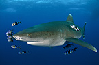 Oceanic white tip Shark with pilot fish, Red Sea, Egypt