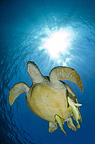 Green turtle swimming to the surface with sunburst, Red Sea, Egypt