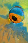 Eye of bicolor parrotfish, Isla del Coco, Costa Rica