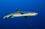 White tip reef shark, Cocos island, Costa Rica
