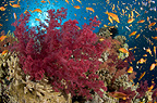 Reef scenic with red soft coral, Red Sea, Egypt