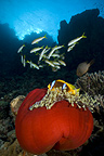 Reef scenic with Red Sea Anemonefish, Red Sea, Egypt