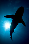 Lemon Shark Silhouette, Bahamas