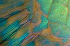 Bicolor parrotfish fin detail, Red Sea, Egypt