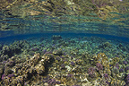 Reef scenic with hard corals near the surface, Red Sea, Sudan