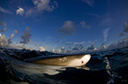 Lemon shark near the surface, Bahamas