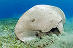 Dugong, Red Sea, Egypt
