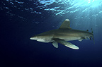 Oceanic white tip Shark, Red Sea, Egypt