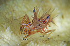 Tiger shrimp, Lembeh, Indonesia