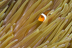 False clown anemonefish in an anemone, Lembeh, Indonesia