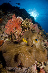 Reef scenic with Red Sea anemonefish, Red Sea, Sudan