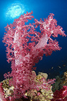 Soft coral with sun, Red Sea, Sudan
