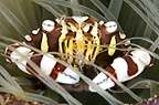 Harlequin crab in a sea anemone, Lembeh, Indonesia