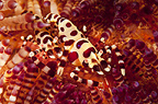Pair of Coleman shrimp in a fireurchin, Lembeh, Indonesia