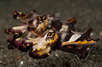 Pair of Flamboyant cuttlefish, Lembeh, Indonesia