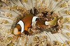 Clown anemonefish in a Sea anemone, Lembeh, Indonesia