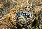 A crocodile fish eye detail, Lembeh, Indonesa
