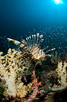 Reef scenic with Lion fish and soft corals, Similan islands, Thailand