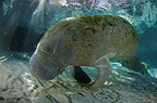 Manatee, Crystal River, Florida, USA