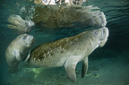 Pair of Manatee, Crystal River, Florida, USA