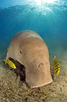 Dugong with sunburst, Egypt