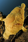 Giant frogfish close-up, Lembeh, Indonesia, Asia